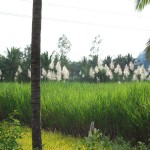 sugar-cane-fields-on-road-to-mysore-nov-013